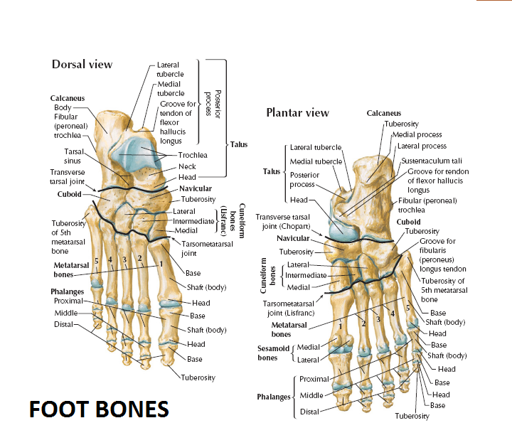 Little toe anatomy 7105717 - follow4more.info